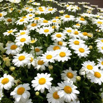 マーガレットやデイジーに似た、かわいいお花のノースポール。北極点という意味があるその名の通り、寒い冬に人気の品種です。乾燥に強いので水やりは控えめに。