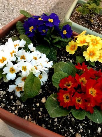 とても多くの品種があるプリムラ属の1つであるプリムラジュリアンは、さまざまな色合いが楽しめるお花。寒い冬にも鮮やかに咲いてくれます。開花時期には水切れさせないように注意することが大切です。