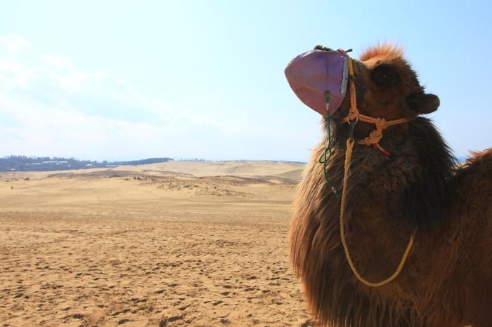 鳥取砂丘には楽しいアクティビティもいっぱいです。 砂丘にぴったりの動物と言えば、らくだですが、らくだに乗って砂丘を遊覧することが出来る「らくだライド体験」は、人気のアクティビティのひとつ。一人で乗ることは勿論、お子さまと一緒に2人で乗ることも出来ます。 また、らくだと一緒に記念撮影も出来るので、旅の思い出に、是非、おすすめです!