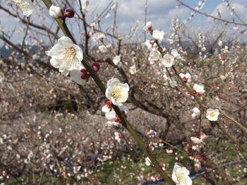 鶴の湯温泉から車で15分ほどのところにあるのが南部梅林。「一目百万、香り十里」と称えられ、丘陵一面が梅の花の色と香りで満たされます。2月中旬が見頃です。