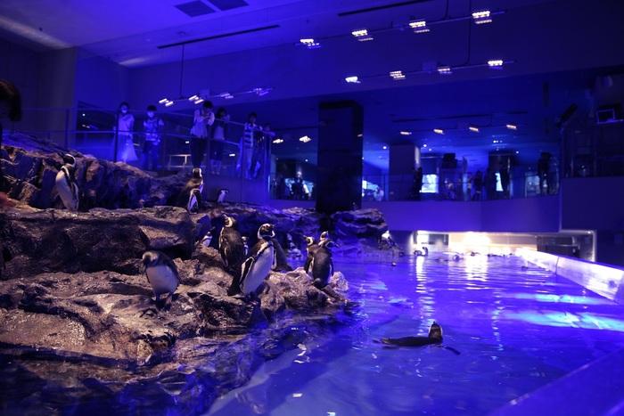 21時まで営業しているすみだ水族館。夜18時を過ぎると、館内の照明がゆっくりと暗くなり、青い照明へとスイッチ。夜の時間を彩る「ブルーナイトアクアリウム」の始まりです。  国内最大級のプール型水槽で泳ぐマゼラペンギンたちが、なんだか夜の海を泳いでるように見えますね*