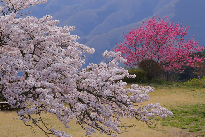 そして、特に桜が美しいことでも有名で「関東の吉野山」と呼ばれています。メイヨシノ、ヤマザクラなど約70種・約8000本の桜が咲き、例年、多くの花見客で賑わいます。