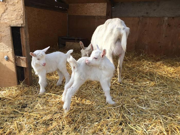 オホーツクサボン ヌフ代表である杉江さんの ご両親が営む無農薬果樹園で「雑草駆除」のためにヤギを飼い始めたのが最初の出会い。ヤギのミルクは母乳と同じ成分「ラクトフェリン」がたっぷりと含まれ、赤ちゃんにも安心して使えます。さらに、保湿性にもすぐれているので、乾燥肌・敏感肌の方にもおすすめです。 *写真は、今年の4月に生まれた2頭の子ヤギ。とってもかわいいですね。