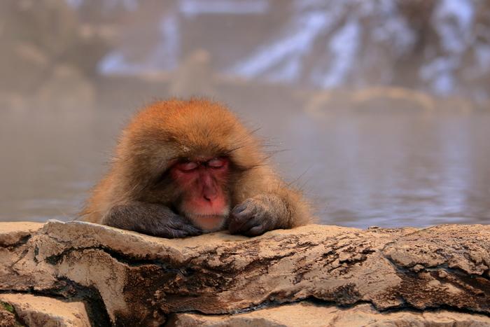 気持ち良さそうに湯船につかるお猿さんの表情、癒されますね。温泉に入る様子を見たい方は、晩秋~冬の寒い時期に行くのがおすすめ。夏は、お猿さんも熱い温泉にはあまり入らないのだそうです。