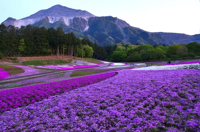 秩父のシンボル的な存在「武甲山」麓にある羊山公園の「芝桜の丘」。9種40万株あまり、約17000㎡にわたって咲き誇る芝桜が目にも美しく、その場にいるだけで癒されます。  例年4月中旬ごろから花色に染まり、見ごろは5月初旬にかけて。シーズンには「芝桜まつり」が開催され、盛り上がりを見せます。