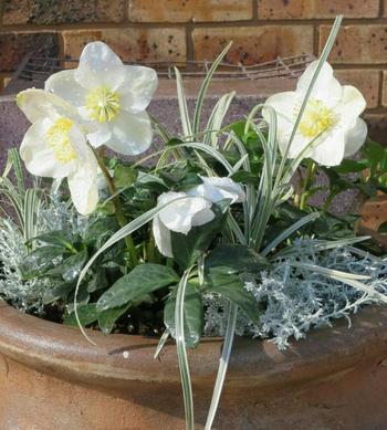 クリスマスローズの苗を購入したら、できるだけ早く「植え付け・植え替え」をしましょう。作業に適した時期は10~12月頃ですが、開花時期が終わる3月頃まで行うことができます。以下の動画で苗の植え方が詳しく紹介されていますので、ぜひ参考にしてみてくださいね。