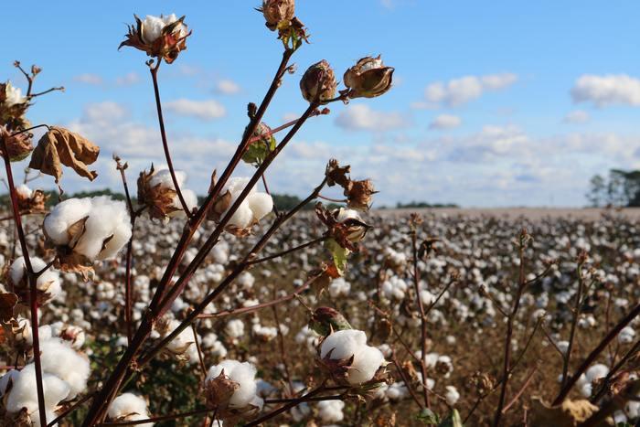 比較的価格が安く、身近な天然繊維としても知られるコットンは、アオイ科の木綿植物につく綿毛から作られています。柔らかな肌触りで、チクチクせずサラッとした着心地が特徴です。