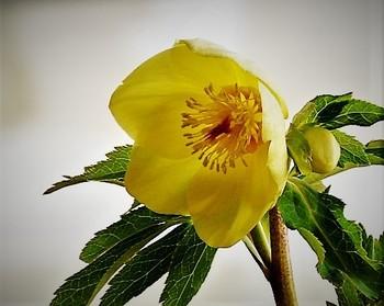 初心者さんでも育てやすいのは、ニゲルやアゥグチフォリウスなどの原種ではなく、異なる品種を交雑させて生み出された「ハイブリット系(交配種)」の苗です。苗の購入は10~12月頃が最適ですが、1月頃になると花をつけた「開花株」も販売されます。花が咲いている状態のものを選ぶと、すぐに綺麗な花を楽しむことができますよ。