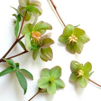 「花がら摘み」という花後のお手入れも、クリスマスローズを健康に育てるために欠かせない大事な作業です。クリスマスローズの花が咲き終わった後は、雌しべが種を作りはじめるため、そのままの状態では株が衰弱する場合があります。