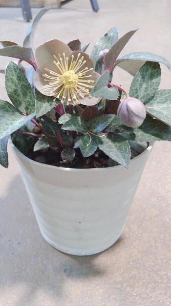 クリスマスローズを種から育てることは上級者でも難しく、一般的に発芽してから開花するまでに2~3年かかると言われています。花が咲く姿を早く見たいという方は、ホームセンターなどで販売している「苗」を育ててみましょう。