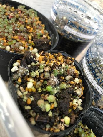 サボテンは、苗だけでなく、種から育てることもできます。種まきは、5月下旬くらいの暖かい環境で。種の場合は、土をかぶせないのがポイントだそうです。