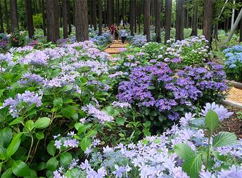 """梅雨の時期には""""あじさい祭""""が開催されます。色とりどりの紫陽花を楽しみながら移動することができますよ。"""