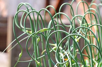 国産のにんにくの芽はほとんどが青森県産で、国産の旬は花芽の刈り取りが行われる、5月中旬から6月初旬くらいになります。が、中国産のにんにくの芽は通年流通しているので、いつでも購入することができます。