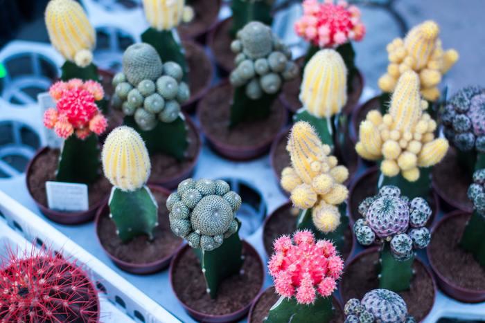 花やトゲに特徴があり、ぷっくりしたフォルムも可愛いサボテン。接ぎ木でユニークなサボテンに育てたり、株分けで増やしたり、プラスαのお楽しみもいろいろあります。