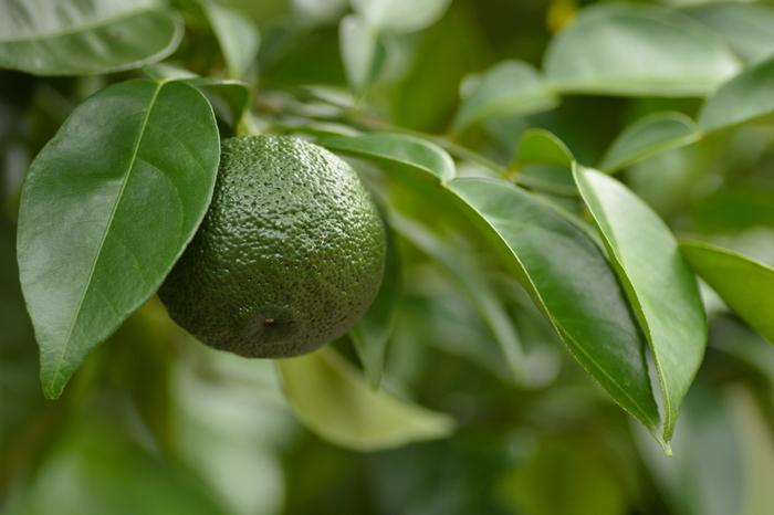 柚子は5~6月に白い花を咲かせ、7~8月に柚子胡椒などに利用されるまだ未熟な青い実(青玉)を収穫します。その後11月中旬~1月に成熟した黄色い実が収穫されます。