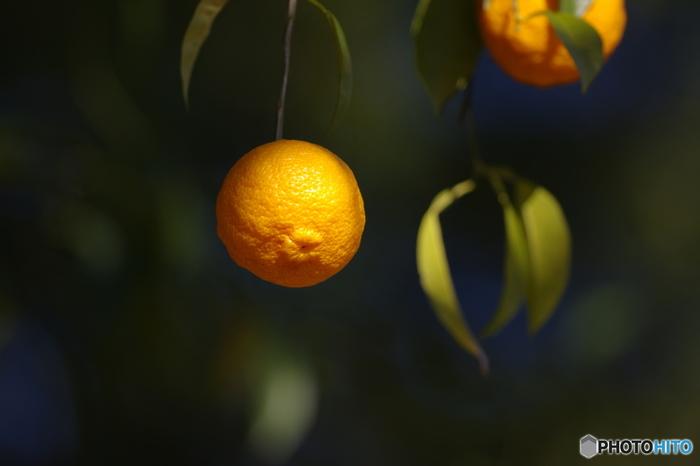 お料理の香り付けに使ったり、冬至の時期にお風呂に浮かべたり、綺麗な果皮の色と爽やかな薫りで古くから親しまれている柚子。現在、柚子はハウスでも栽培され通年店頭に並ぶ果物ですが、元々は朝晩が冷え込み木枯らしが拭き始める11月中旬~12月が旬。
