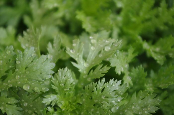 好き嫌いが分かれる野菜ですが、とても優れた栄養成分と効能がある春菊。βカロテン、ビタミンC、カルシウム、鉄などを含み、中でもβカロテンは小松菜やほうれん草に匹敵するほど豊富です。皮膚や粘膜を保護・丈夫にしてくれるので、喉や肺などの呼吸系統を守る働きや風邪予防に効果的です。
