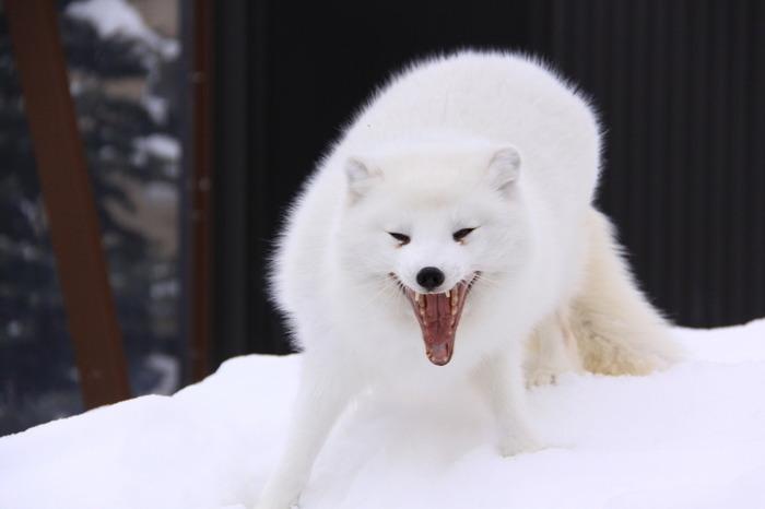 「伝えるのは、命」をテーマに、動物が本来持つ生態や行動を引き出す「行動展示」が特徴の旭山動物園。冬に元気な動物たちもたくさんいます。雪の園内をお散歩するペンギンや、寒い国生まれのシロクマやユキヒョウ、シンリンオオカミたち。ホッキョクギツネやエゾユキウサギは、冬になると真っ白な冬毛に衣替えし、とても美しい姿を見せてくれますよ。
