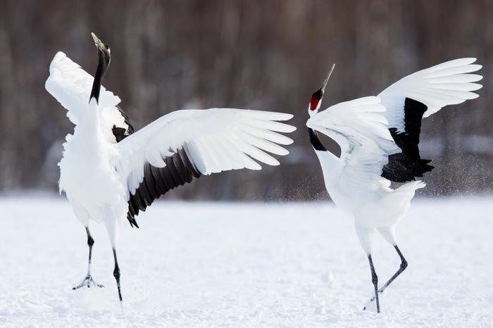「釧路湿原の象徴」「湿原の神」ともいわれる鳥、タンチョウ。国の特別天然記念物に指定され、優美な姿が人々を魅了します。釧路・阿寒圏内には、「阿寒国際ツルセンター」「鶴居・伊藤タンチョウサンクチュアリ」「鶴見台」など、複数の給餌場・観察スポットが設けられています。