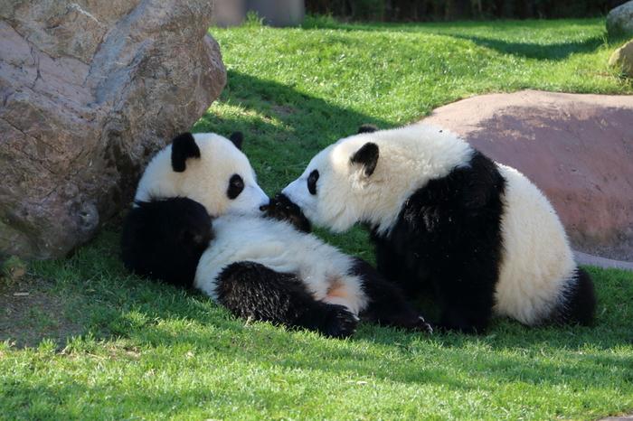 「アドベンチャーワールド」で人気の動物と言えば、ジャイアントパンダ。「パンダラブ」というエリアでは、双子の「桃浜(とうひん)」「桜浜(おうひん)」、そして2016年9月に誕生した「結浜(ゆいひん)」の元気いっぱいな姿を見ることができます。また「ブリーティングセンター」というスポットでは、「永明(えいめい)」「良浜(らうひん)」、そして 2018 年 8月に誕生したばかりの赤ちゃんパンダ「彩浜(さいひん)」を見ることができます。