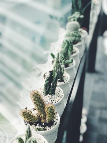 おしゃれなインテリアグリーンとして人気♪「サボテン」の植え方・育て方