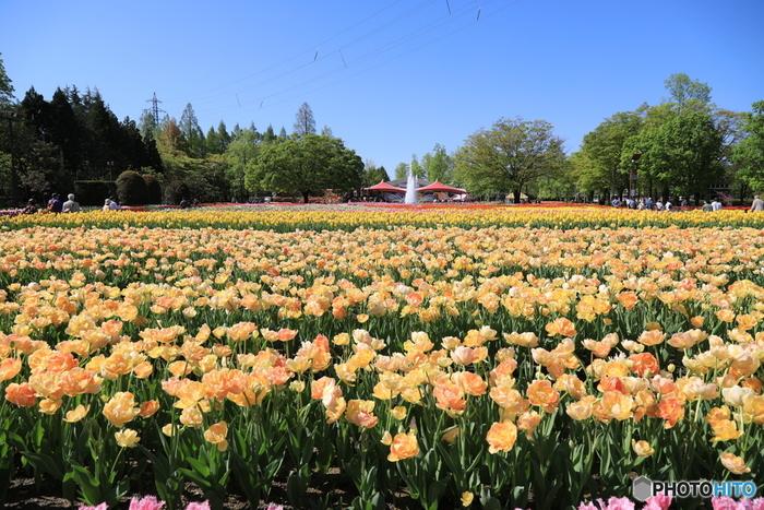 チューリップ好きの方には必見の観光イベントが富山にあります。その名も「となみチューリップフェア」。4月下旬からGWまで富山県砺波市の「砺波チューリップ公園 」で開催されていて、600品種・約100万本ものチューリップを見ることができます!「花かご作り」などワークショップもありとってもオススメ。チューリップは富山県の県花でもあり、砺波市の特産で市の花でもあるんです。