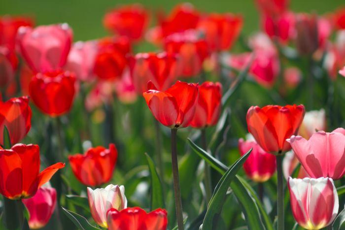"""赤色のチューリップの花言葉は「愛の告白」や「真実の愛」です。 やはり""""赤=愛""""の意味なのでしょう。とはいえ、チューリップのまあるい優しいフォルムから感じ取れるのは、情熱的な激しい愛というより、時間をかけて育んでいく温かな愛情のような気がします。"""