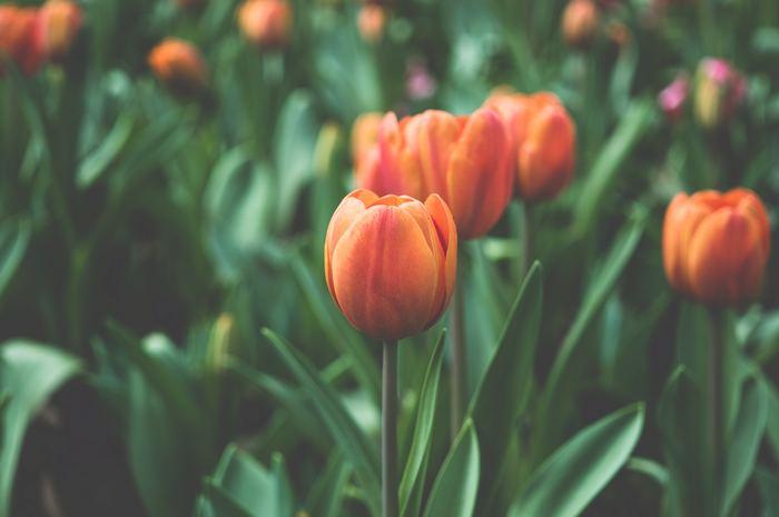 ぱっと明るい雰囲気で包み込んでくれるオレンジのチューリップの花言葉は「照れ屋」です。 チューリップには、こういった「恋」や「愛」を遠まわしに表現した花言葉もあるんですよ!