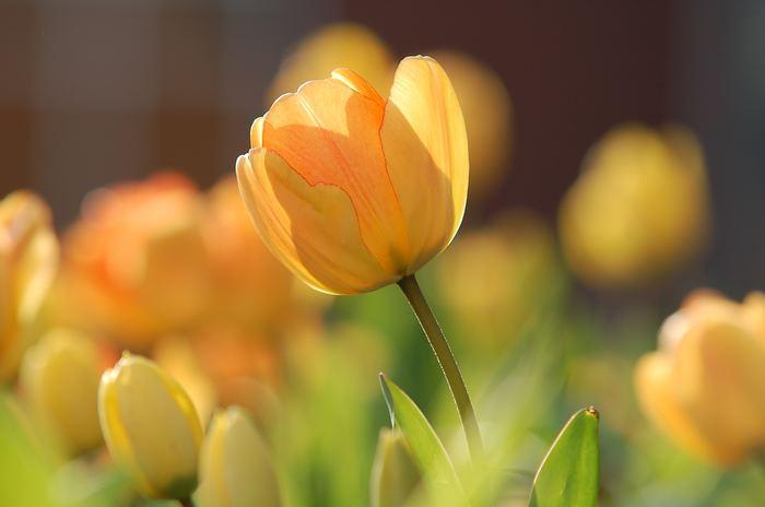 黄色のチューリップの花言葉は「叶わぬ恋」です。 元気カラーな印象が強いですが、甘酸っぱい意味もあるようです。