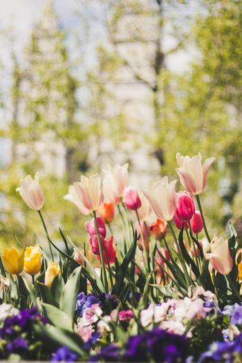 チューリップの開花時期は3月から5月で、品種や植える時期によって3期に分けられます。  早生種:3月下旬~4月中旬 中生種:4月中旬~4月下旬 晩生種:4月下旬~5月上旬  開花時期が異なる品種を組み合わせることで、春の間ずっとチューリップを愛でることができるんですよ!