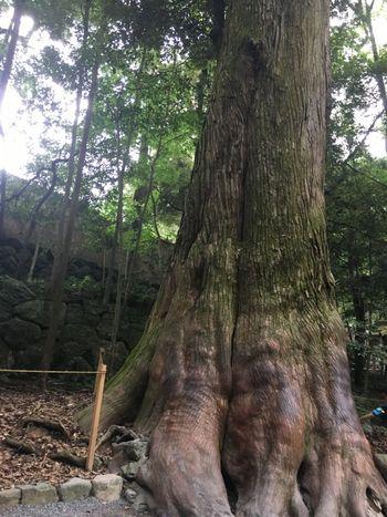 パワーツリーとされている杉の木。木の持つ力にあやかろうと参拝客が触るため、幹の下の方はツルツルになっています。