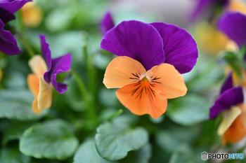チューリップが大きなお花なので、一緒に植えるものはパンジーなどの小花、またはアイビーなどのグリーンと組み合わせるのがオススメです。