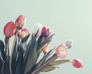 チューリップは園芸初心者さんでも、比較的簡単に育てられる丈夫なお花です。そんなチューリップの球根は、紅葉が綺麗な季節の10月末ころから12月末までには植えるようにしましょう。  チューリップは土の中で寒さを経験することで芽が形成されると言われています。植える時期が極端に遅くなってしまうと、茎の部分が短くなったり、お花が最終的に咲かないものも出てきますので注意しましょう。