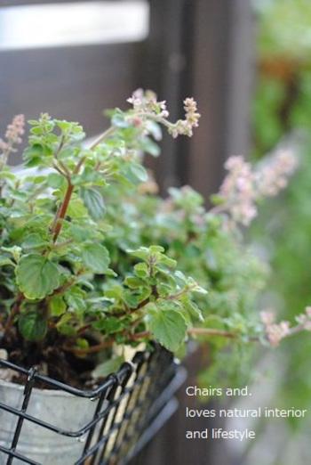 ベランダの壁に植物をかける工夫で、ベランダガーデン作り。