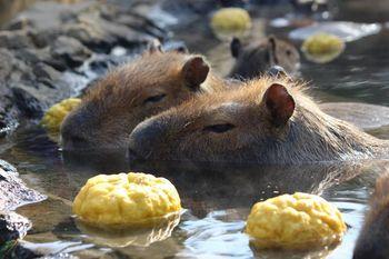伊豆シャボテン動物公園には120種類もの動物がいるのですが、中でも人気者なのがカピバラ。11月~4月上旬の期間はカピバラたちが温泉につかっているほっこり姿を見ることができます。
