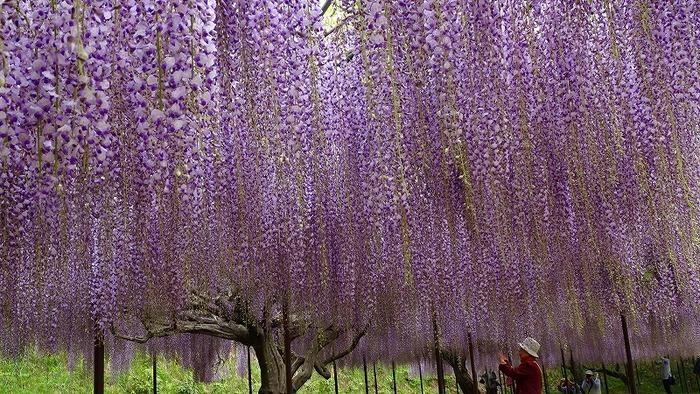 天台宗の五大山である白毫寺にある「九尺藤」。全長120mの藤棚に咲き誇る姿は圧巻です。九尺富士という品種は花穂が長くなることでも有名。それが藤棚を上手く覆い連なって見える姿はため息がでる美しさです。