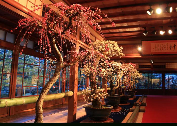 """今年の見どころは、京都造形芸術大学プロデュースによる展示。カラフルな背景に彩られた盆梅が楽しめる「盆梅の森」や「盆梅カフェ」など、より寛げる空間が誕生しました。ゆったりと悠久の時の流れを感じながら、日本の美を堪能することで、おとなの""""粋""""が感じられます。  また、会期中は俳句コンテストを実施。昨年のNHK紅白歌合戦の審査員も務めた、俳人・夏井いつき先生により優秀な作品が選句されます。会場で感じた盆梅の美しさを、俳句にして詠むのもいいのでは?"""