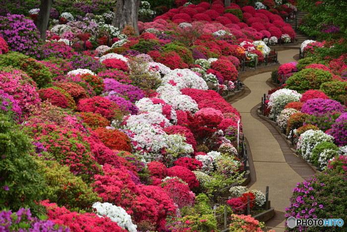 その年の気候によって見頃がかなり異なるそうですが、植えられているツツジは100種と非常に種類が多くそれぞれ開花時期が違うため、長い期間楽しむことができます。