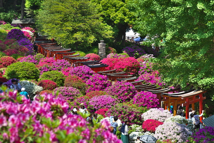 毎年4月上旬から5月にかけて『文京つつじまつり』が開催され、合わせて根津神社の「つつじ苑」が公開されます。 境内では植木市や骨董市がひらかれたり、演芸も行われます。 つつじに囲まれた千本鳥居も、とっても美しいと評判なんですよ。