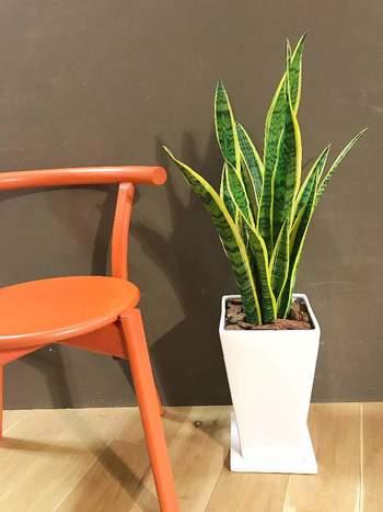 葉っぱの先がシャープなサンセベリアは、風水的に邪気を払ってくれる植物。置いておくだけで嫌なにおいを消臭してくれるので、トイレには最適なんです。