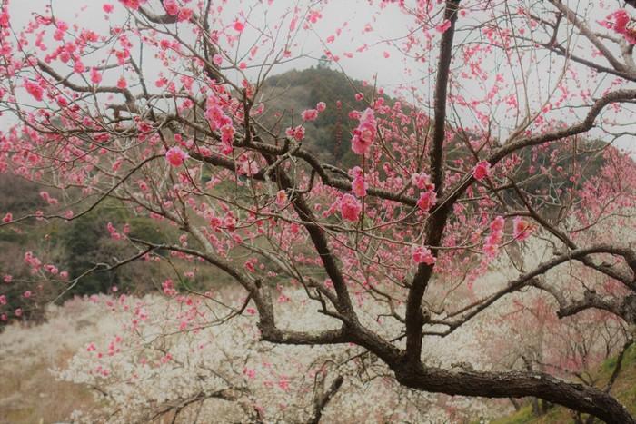 例年2月下旬~3月下旬に見頃を迎える「高尾梅郷」は、旧甲州街道沿いの約4.5km区間に梅林が点在し、約10,000本の紅白の梅が見事な景観を見せてくれます。