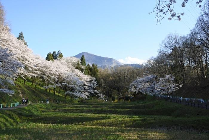 ソメイヨシノをはじめ、しだれ桜、八重桜、あわせて約1,000本の桜も見ごたえがあります。4月上旬から中旬に見ごろを迎え、秩父を代表するお花見の名所にもなっています。芝桜のシーズンはかなり混雑するので、車より電車やバスなどの公共交通機関を使ったほうがスムーズに移動できますよ。