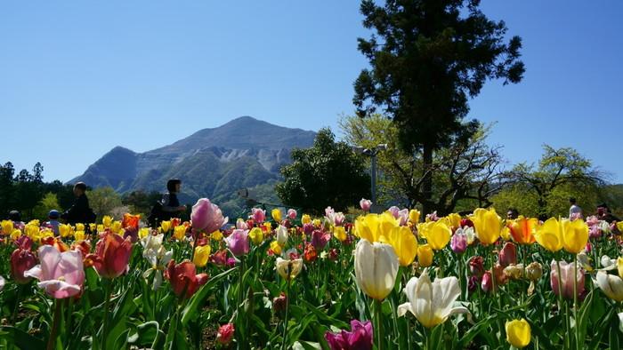芝桜以外にもたくさんの花が咲いていて、色とりどりの可憐なチューリップも。公園内には、お弁当が食べられる芝生スペースもあるので、レジャーシートを持ってお出かけするのも気持ち良さそう。