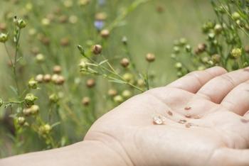 アマ科の一年草、亜麻の種子(亜麻仁) 絞ってろ過した油が、「亜麻仁油(あまにゆ/あまにあぶら)」。  古代ギリシャでは皮膚病の薬として使っていたといわれるほど、世界的に歴史のある油なんです。  日本では薬として役立てるため、江戸時代から栽培されはじめたという記録が残っています。