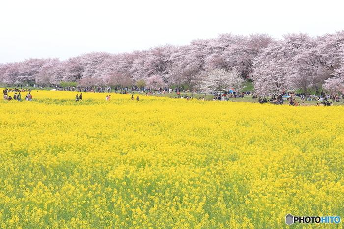 圏央道のの幸手ICから10分ほどの「権現堂桜堤」は、花の名所として有名です。特に春は、約1キロメートルにわたって約1,000本のソメイヨシノが咲き誇り、淡いピンク色に染まります。堤の周辺にはたくさんの菜の花も咲き、その美しいコントラストに春の訪れを感じます。