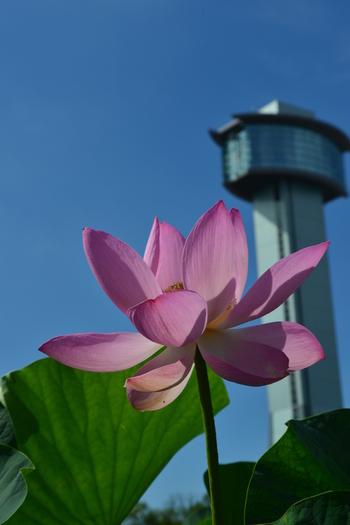 蓮は、朝が1番美しく咲きます。午後になると花が閉じてしまい、開花から4日経つと花が散ってしまうんです。その繊細さや可憐さも魅力ではないでしょうか?園内には、古代蓮(行田蓮)を含めて42種類の花蓮が咲いています。