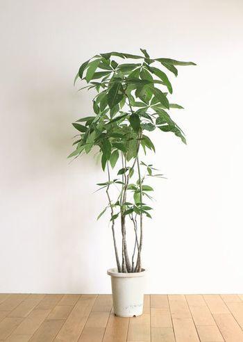 """古くから""""発財樹(財を成す樹)""""の名前でも親しまれている「パキラ」(写真の植物)をはじめ、お金を貯めるパワーのある「モンステラ」や「金のなる木」が金運UPが期待できる植物として人気です。"""