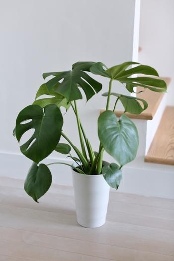 切れ込みの入った葉が特徴の「モンステラ」は、耐陰性・耐寒性に優れ、日光があまり入らない半日陰の場所でも元気に育ちます。南国を思わせるトロピカルな雰囲気なので、インテリアグリーンとして人気の高い植物です。