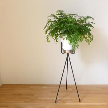 繊細な葉が美しい「アジアンタム」は直射日光に弱いため、一年を通して日陰で育てることができます。ただし乾燥と寒さに弱いので、こまめに水やりしたり8℃以上のお部屋に置くなどして、上手に管理しながら育てましょう。