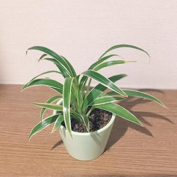 シャープで細長い葉が特徴の「オリヅルラン」も、室内・屋外両方の環境で育てることができます。寒さにも強いので、お庭のグランドカバープランツにも◎。下に伸びる細長い茎(ランナー)に子株をつけるので、株分けをして簡単に増やすこともできます。
